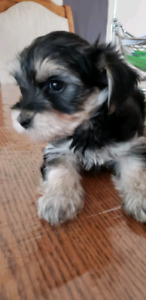Morkie Pups 2 males  looking for forever homes.