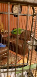 8 months old male green cheek Conure comes with a large cage toy