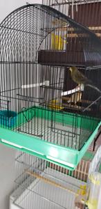 Canari mâle à vendre