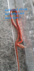 Corn snake | Reptiles For Sale - Gumtree