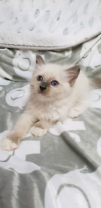Pedigree Ragdoll Blue Mitted Girl Available