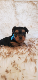 Adorable miniature Yorkshire Terriers puppies
