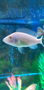 Aquarium decor- cichlids $5 & ,up