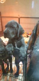 Great Dane Pupp