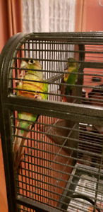 Beautiful green cheek Conure pair 4sale comes with a large cage