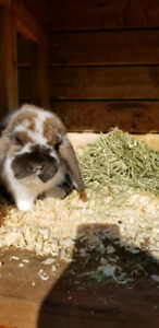 Purebred Holland Lop Bunny - male
