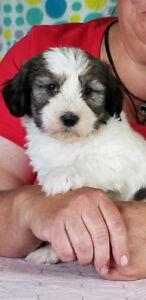 Beautiful Polish Lowland Sheepdog puppies fabulous family friend