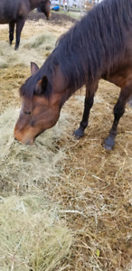 Mares for rehomming - URGENT NEW PRICE