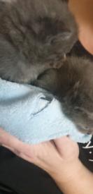 Persian x short hair kittens