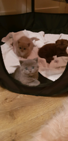 For sale cats British shorts hair 2 female and 1 boys 6 weeks old.