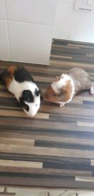 3 Guinea Pigs. Hutch, run, water bottles, houses, bowls