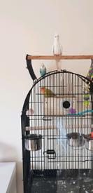 Cockatiel and lovebird