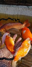 Large goldfish various colours