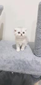 Persian Chinchilla Fold X Kittens