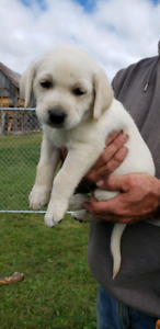 Male puppies lab and collie mix