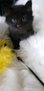 Maine coon/ Turkish Angora kittens- only one left!