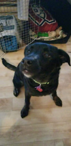 Labrador retriever mâle 6 mois