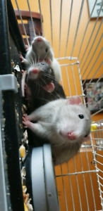 Rats to good home