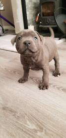 Ready 2 go! Blue staffordshire bull terrier puppies (staff staffy)
