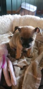 chihuahua female for sale