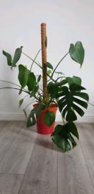 Monstera plant
