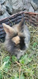 Mini Lion Lop bunnies