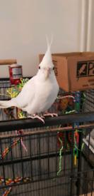 albino male cockatiel