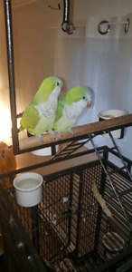 Monk parakeet couple male n female