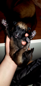 Belgium malinois pups