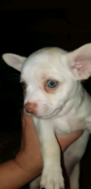 Chihuahua @ 1 boy only left @now 7weeks old