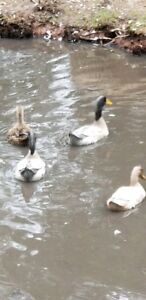 A pair of Indian Runner ducks for sale