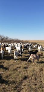Goat Herd Dispersal