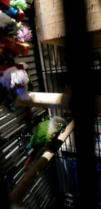 Green cheek conure breeding pair