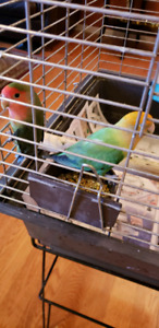 Beautiful love bird pair for sale comes with a cage and stand