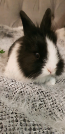 Dutch baby bunnies