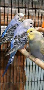 Green and yellow/ blue budgies
