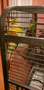 3 beautiful green cheek Conure comes with a cage