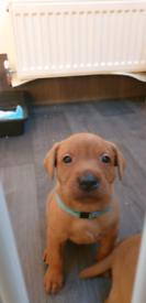 Dark fox red labrador puppy for sale, 1 boy remaining