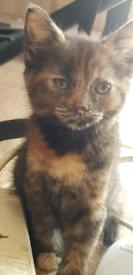 Tortie Female Kittens