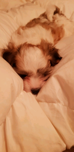 Maltese x shih tzu x papillon | Dogs & Puppies | Gumtree