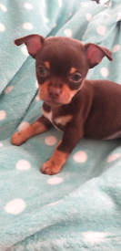 Chihuahua pups, Pedigree, KC Registered