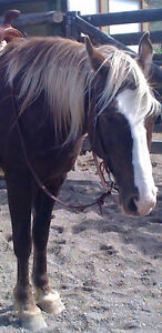 10 y/o Rocky Mountain Gaited Mare