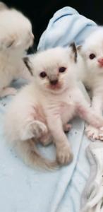 Pedigree Ragdoll Kittens Available