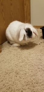 Lop rabbit to re-home - free to a good Bun loving home!