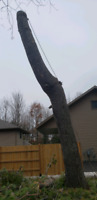Dangerous Tree/Limb Removal and Stump Grinding Services