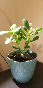 jade plant very healthy well rooted