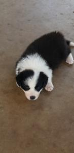 Pedigree Border Collie Pups