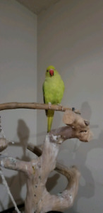 Female Indian Parrot