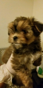 1 toy morkie left  ready to go!!!