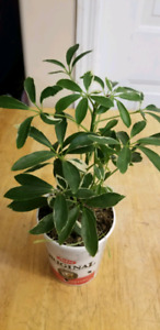 Umbrella House plant is available pick up windsor park